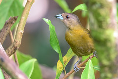 Scarlet-rumped Tanager (Passerini's) (female)