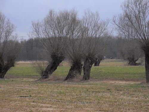 20110318 0205 254 Jakobus Weidenbäume