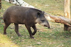 Tapir terrestre (Tapirus terrestris) - Photo of Apchat