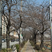 증산역 불광천 벚꽃 피기전 벚꽃나무