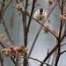 aurelien.ebel posted a photo:Mésange nonnette (Poecile palustris)