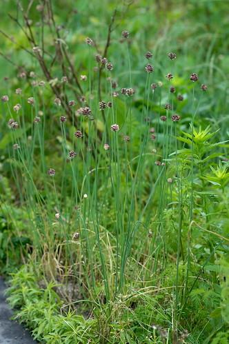 ノビル/Allium macrostemon