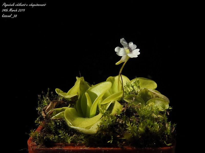 Pinguicula chilensis x chuquisacensis