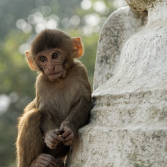 Rhesus Macaques, several gangs of which live in and around Swayambhunath