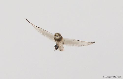 Short Eared Owl with Dinner
