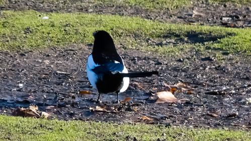Magpie on frozen mud, West Park
