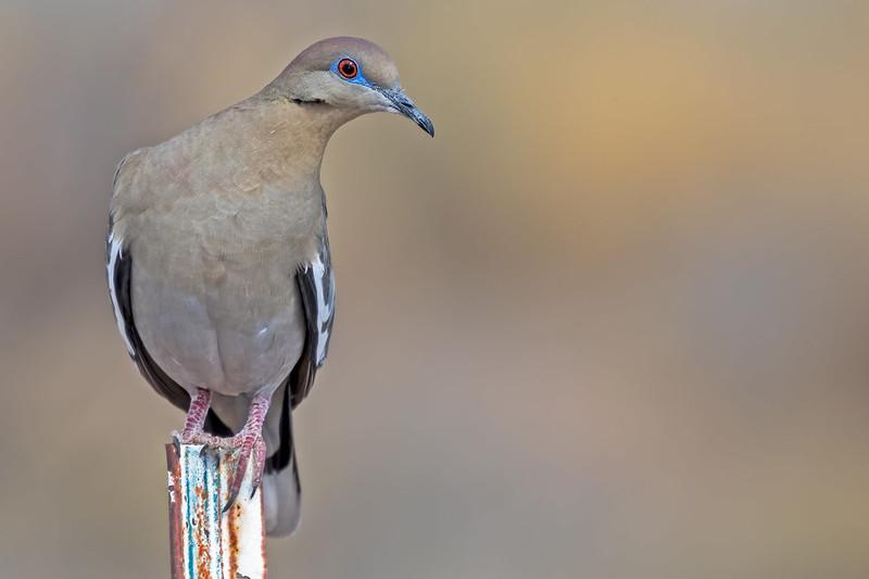 White-wing-Dove-2-7D2-032719