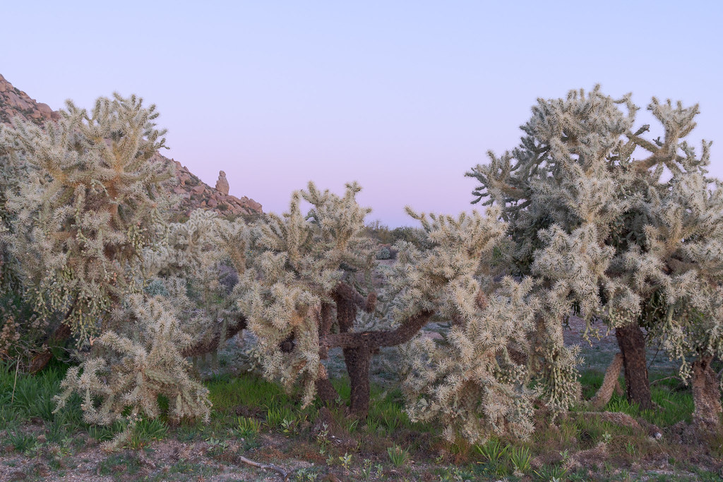 Chain fruit cholla bathed in blue light before sunrise along the Marcus Landslide Trail in McDowell Sonoran Preserve in Scottsdale, Arizona