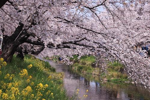 五条川 桜並木