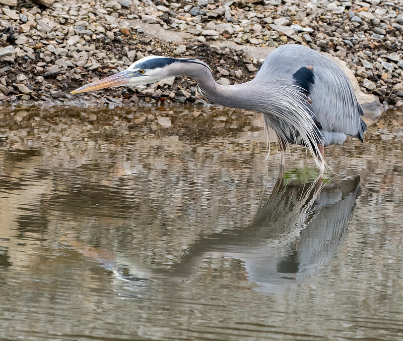 Blue Heron in the Manchester Canal