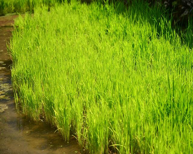 Brotes de arroz saliendo de los campos de Batad