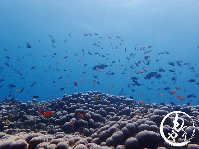 世界最大のコモンシコロサンゴの上はお魚天国♪♪