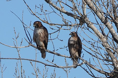 Individual Red-Tailed Hawks Identification, Front, Photo 1 of 3