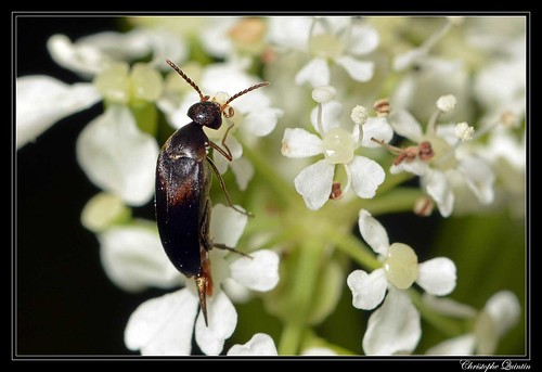 Mordellochroa abdominalis mâle