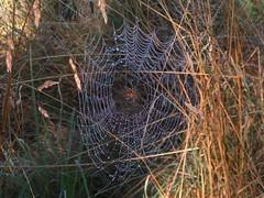 20080902 29342 1003 Jakobus Spinnenwebe Wasser Perlen