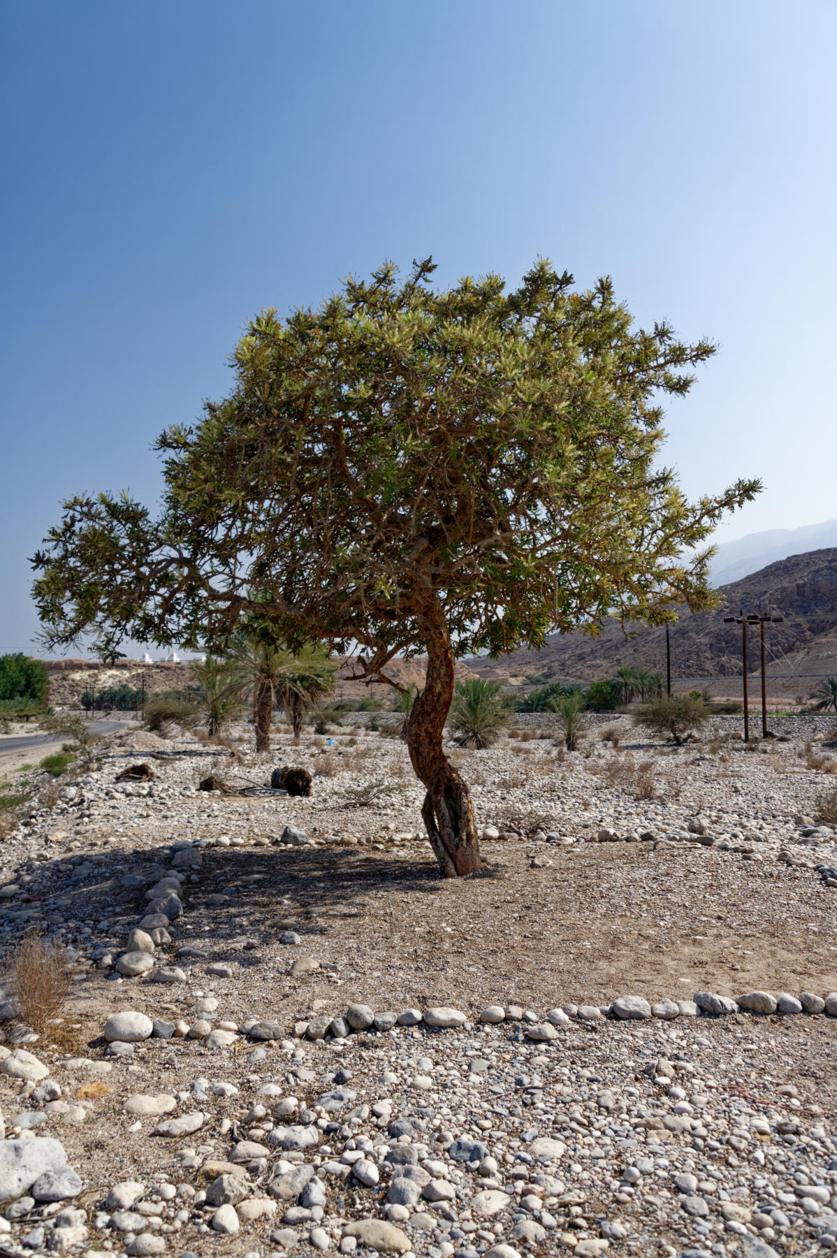 Frankincense tree, North Oman