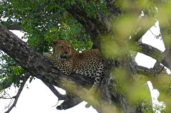 Leopard (Panthera pardus) male resting in a tree ...