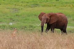 Elephant and Gazelle