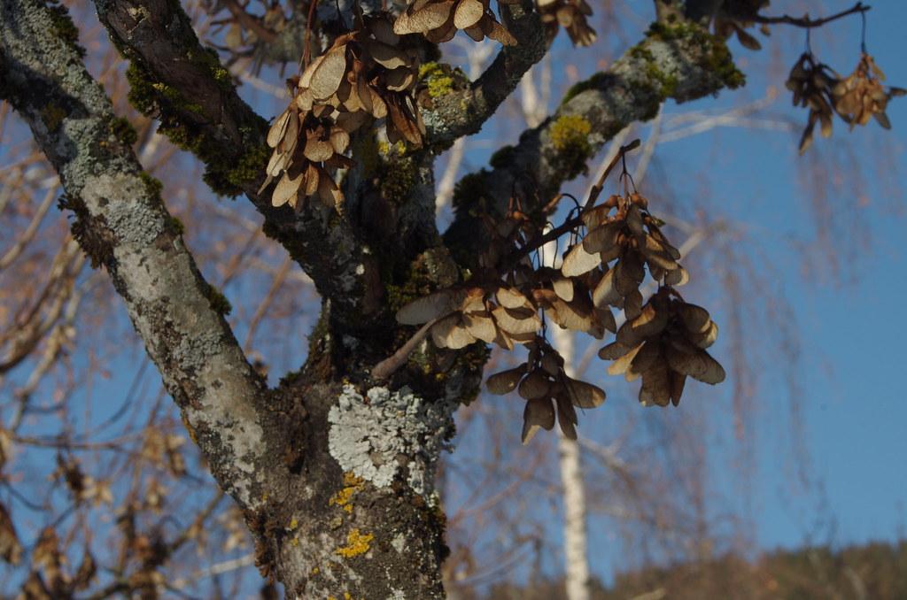 Baum in Sagogn, mit Flechten