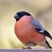 Bullfinch by KHR Images