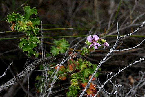 Pelargonium englerianum in wild nature