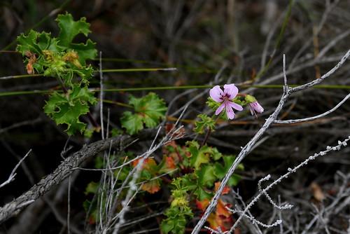 Pelargonium englerianum in wild nature