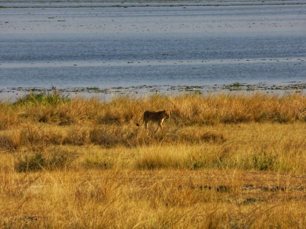 Lioness, Murchison Falls National Park