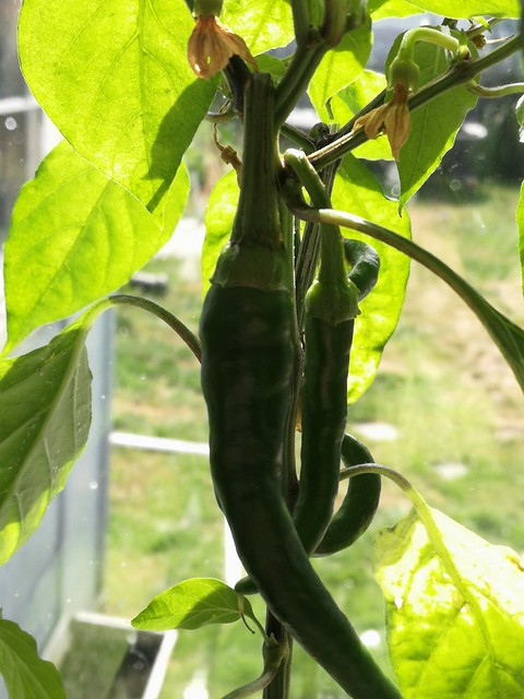 5 individual Thai dragon chillies