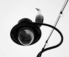 Whitby Herring Gulls