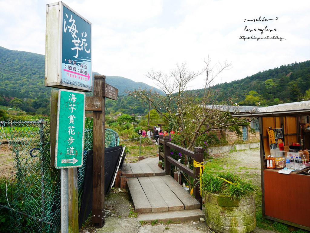 陽明山海芋季免費賞花