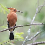 Hoopoe – South Africa