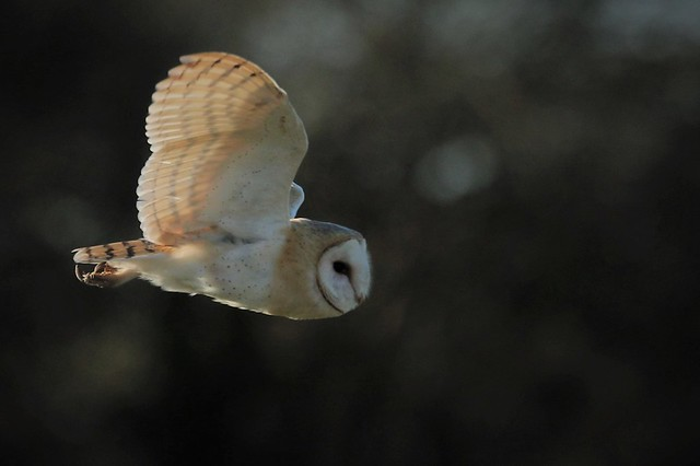 Barn Owl (Tyto Alba) Out into the light Woodchurch Kent