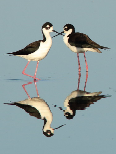 Black-necked Stilts 022-20190401