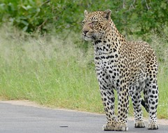 Leopard (Panthera pardus) male on the road ...