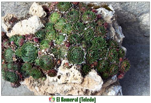 Sempervivum, jardín portátil, piedras calizas, El Romeral (Toledo),