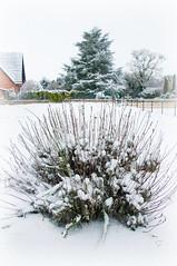 lavande sous neige - Photo of Graincourt-lès-Havrincourt