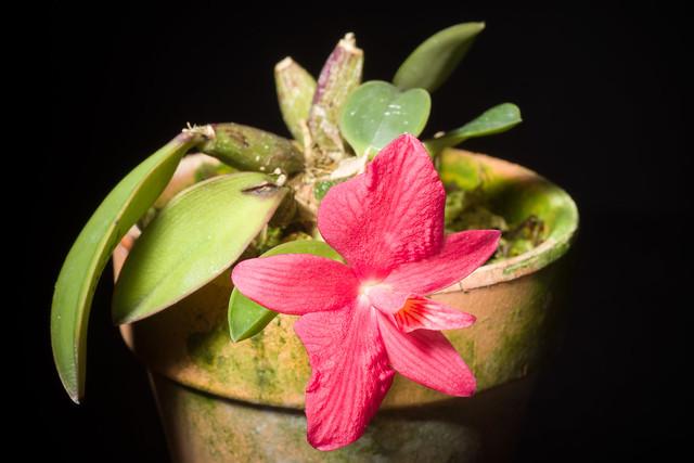 Photo:[Espírito Santo, Brazil] Cattleya wittigiana (Barb.Rodr.) Van den Berg, Neodiversity 3: 12 (2008) By sunoochi