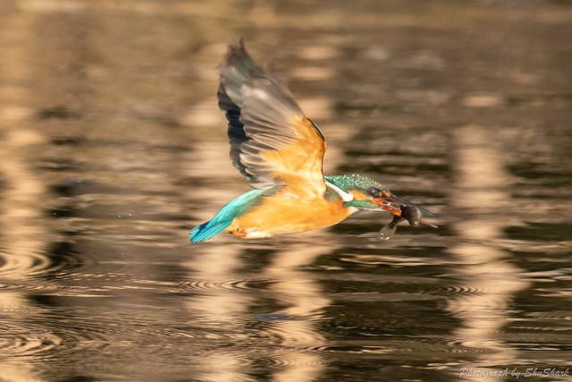 20190223-kingfisher-DSC_1666