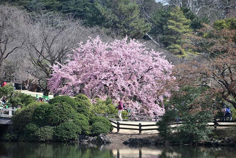 3-01-_DSC_6653mh修善寺寒桜