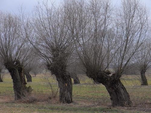 20110318 0205 255 Jakobus Weidenbäume