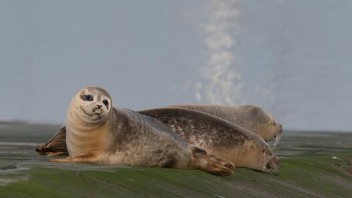 Phoque veau marin - Harbor seal - Phoca vitulina