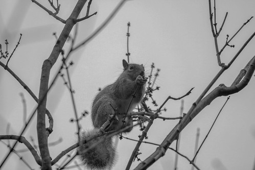 Gray Squirrel Munching