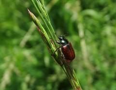 Phyllopertha horticola - Photo of Nonville