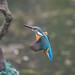 Kingfisher 190317061-2.jpg
