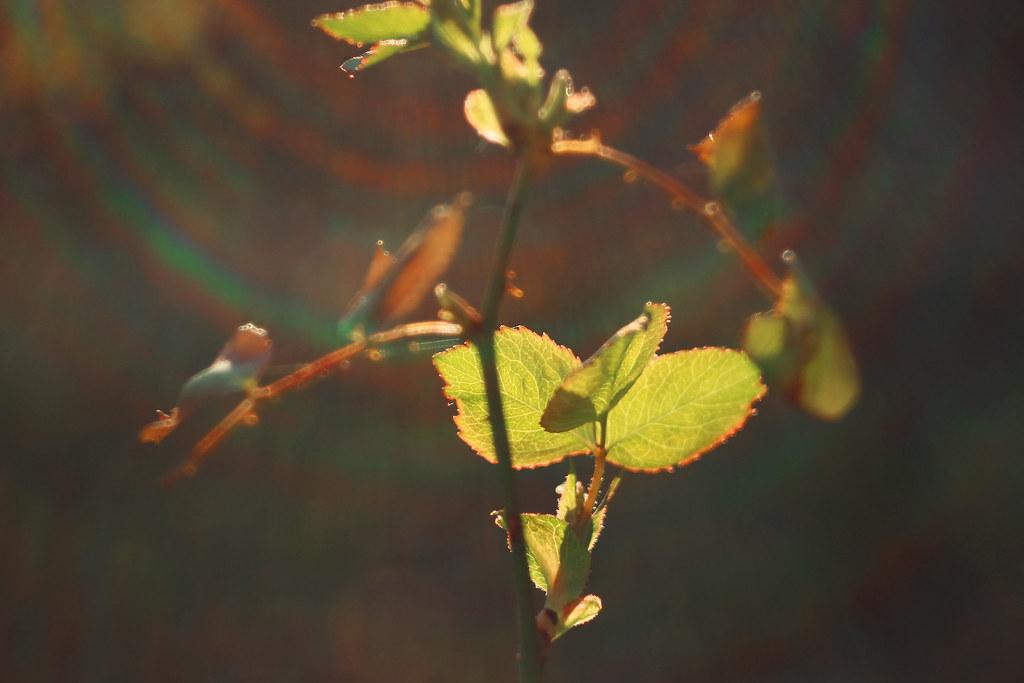 Rose leafs in sun flare