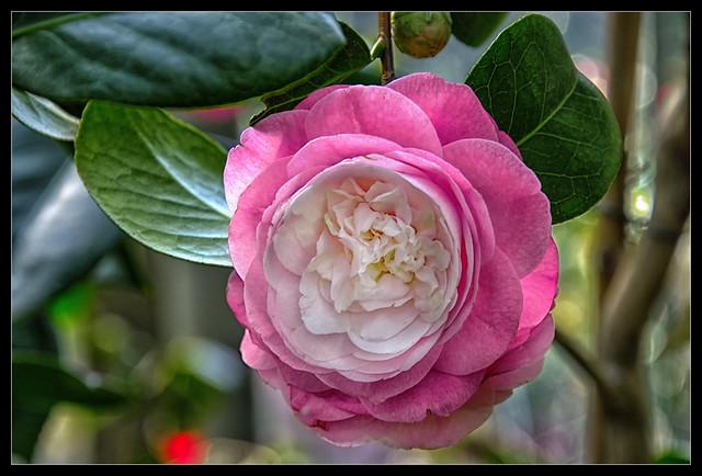 Camellias blossom
