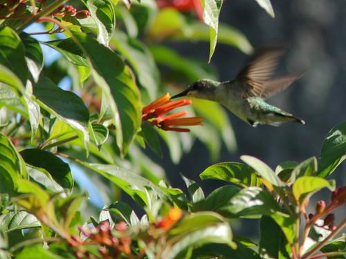 Ruby-throated Hummingbird 2-20190228
