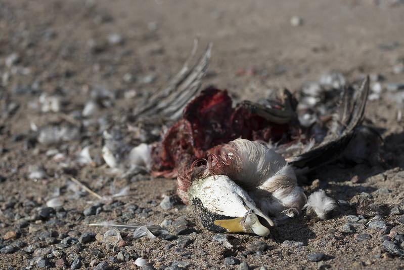 Very Dead Gull