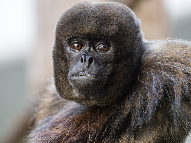 Portrait of a woolly monkey II