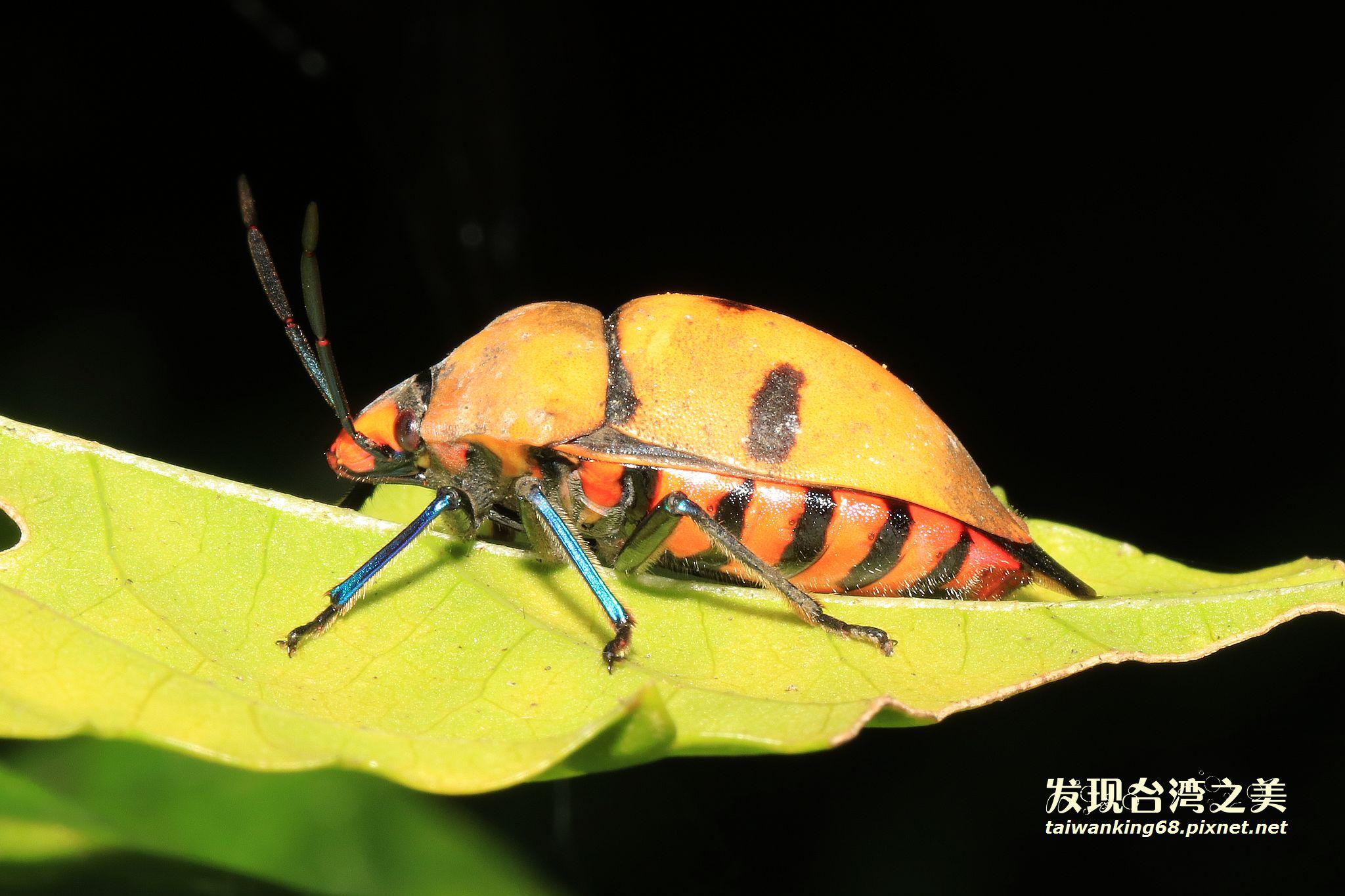 大盾背椿象(黃褐色個體)